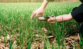 Giovane biologo della donna di agricoltura che ispeziona il raccolto Immagine Stock Libera da Diritti