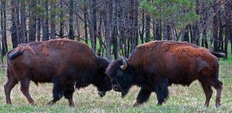 Giovane Bison Buffalo Bulls Sparring nel parco nazionale della caverna del vento Fotografie Stock Libere da Diritti