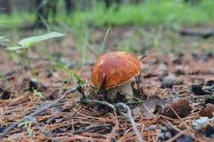 Giovane boletus del fungo immagini stock libere da diritti