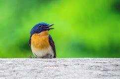 Giovane brunnea blu indiano di Larvivora del pettirosso fotografia stock libera da diritti