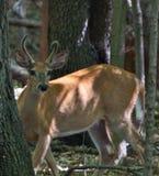 Giovane Buck Watching Fotografia Stock Libera da Diritti