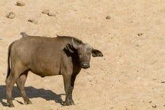 Giovane Buffalo africana Fotografia Stock