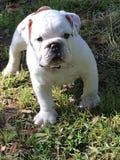 Giovane bulldog inglese Fotografia Stock Libera da Diritti