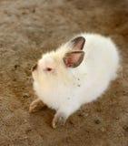 Giovane Bunny Rabbit Fotografia Stock