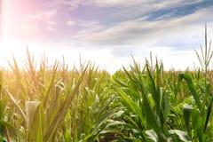 Giovane cablaggio del mais nel giorno soleggiato di primavera immagini stock