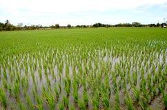 Giovane campo della pianta di riso Fotografia Stock Libera da Diritti