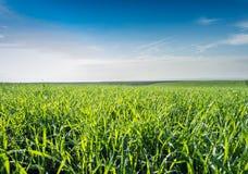 Giovane campo di frumento Immagine Stock Libera da Diritti