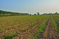 Giovane campo di grano Immagine Stock