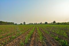Giovane campo di grano Immagini Stock