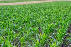 Giovane campo di grano, diagrammi 2 del cereale Immagini Stock Libere da Diritti