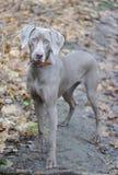 Giovane cane. Immagine Stock Libera da Diritti