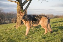 Giovane cane alsaziano splendido all'aperto Immagine Stock