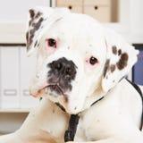 Giovane cane attento del pugile Fotografia Stock