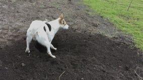 Giovane cane bianco nella scavatura del foro in terra nera archivi video