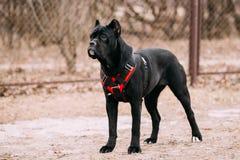 Giovane Cane Corso Puppy Dog Outdoors nero fotografie stock