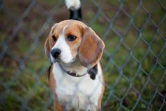 Giovane cane da lepre Fotografie Stock