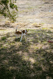 Giovane cane da lepre delle razze del cane di animale domestico che cammina nel parco all'aperto Fotografia Stock Libera da Diritti
