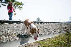 Giovane cane da lepre delle razze del cane di animale domestico che cammina nel parco all'aperto Immagine Stock