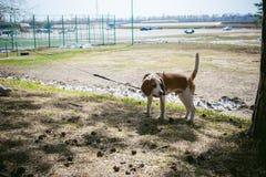 Giovane cane da lepre delle razze del cane di animale domestico che cammina nel parco all'aperto Immagini Stock
