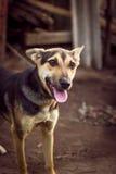Giovane cane da pastore Fotografia Stock Libera da Diritti