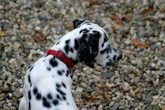 Giovane cane dalmatian (cucciolo) Fotografie Stock Libere da Diritti