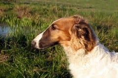 Giovane cane del borzoi Fotografia Stock Libera da Diritti