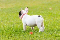 Giovane cane del bulldog francese Fotografia Stock Libera da Diritti