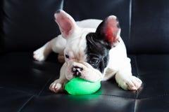 Giovane cane del bulldog francese Immagini Stock Libere da Diritti