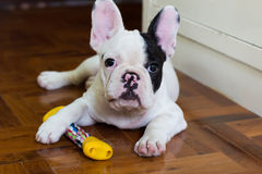 Giovane cane del bulldog francese Immagini Stock