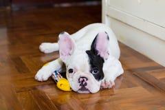 Giovane cane del bulldog francese Immagine Stock Libera da Diritti