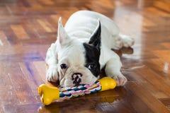 Giovane cane del bulldog francese Immagine Stock