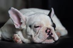 Giovane cane del bulldog francese Fotografia Stock