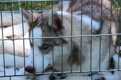 Giovane cane del husky in una gabbia Immagini Stock Libere da Diritti