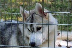 Giovane cane del husky in una gabbia Fotografia Stock Libera da Diritti