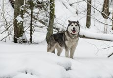 Giovane cane del Malamute d'Alasca che sta in Snowy Forest Open Mouth immagini stock libere da diritti