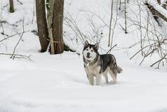 Giovane cane del Malamute d'Alasca che sta in Snowy Forest Open Mouth fotografia stock