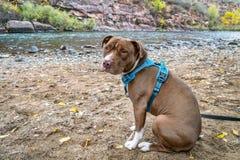 Giovane cane del pitbull terrier in nessun cablaggio di tirata fotografie stock