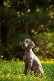 Giovane cane del weimaraner all'aperto su erba verde Immagine Stock