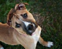 Giovane cane della miscela del pugile con le orecchie divertenti Immagini Stock