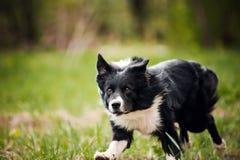 Giovane cane di border collie Fotografie Stock Libere da Diritti