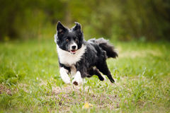 Giovane cane di border collie Fotografia Stock