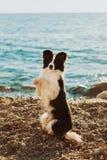 Giovane cane di border collie con un soggiorno in bianco e nero del collare sulle zampe posteriori e fare un trucco mare su fondo immagini stock libere da diritti