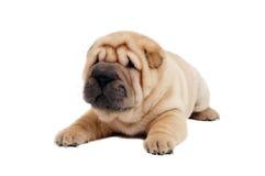 Giovane cane di cucciolo di sharpei Immagine Stock Libera da Diritti
