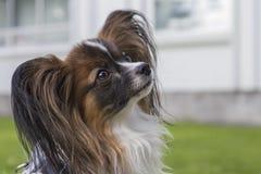 Giovane cane di papillion sull'erba Fotografia Stock