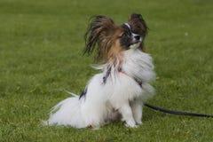 Giovane cane di papillion sull'erba Immagini Stock