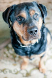 Giovane cane di Rottweiler che esamina la macchina fotografica Fotografie Stock
