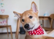 Giovane cane di Shiba Inu Fotografie Stock Libere da Diritti