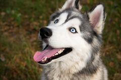 Giovane cane energetico su una passeggiata Husky siberiano immagini stock