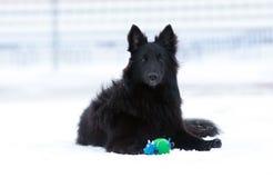 Giovane cane nero Immagini Stock Libere da Diritti