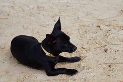 Giovane cane nero Fotografia Stock